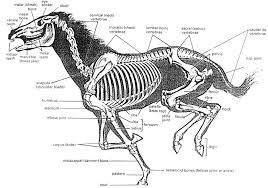 framtungt-skelett