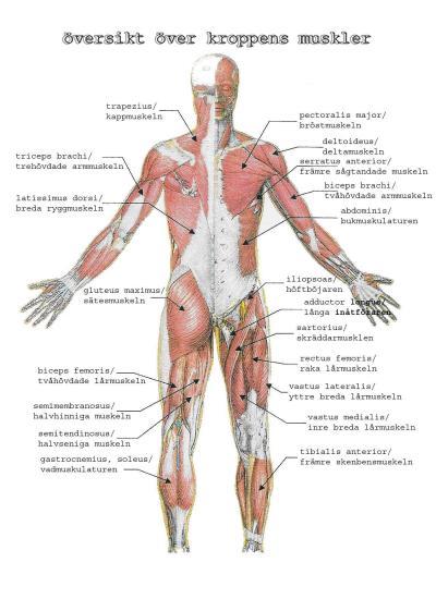 muskler-manniska